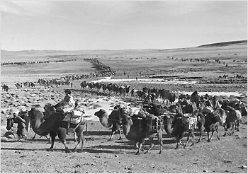 A PLA caravan of camels